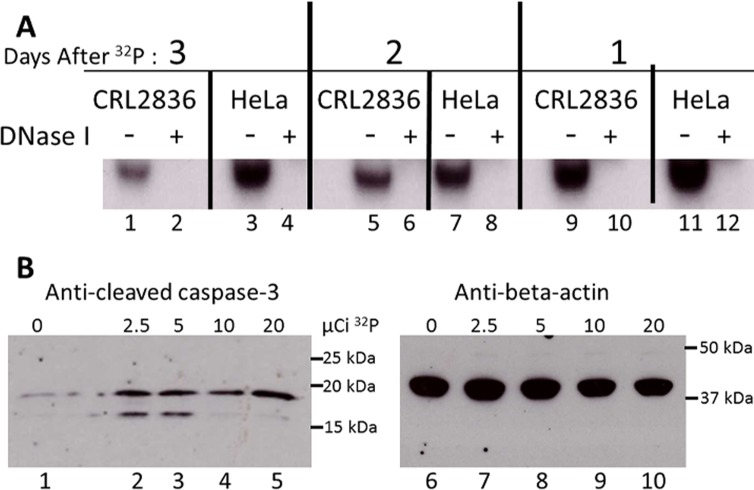 Characterization of 32 P uptake by the cell. A. 32 P is directly incorporated into cellular DNA. Mouse CRL2836 or human HeLa S3 cell lines were incubated overnight with 32 P[PO 4 ] and then grown for 48 h in non-radioactive medium (lanes 1 through 4), or grown for 24 h in non-radioactive medium, grown for 24 h with 32 P[PO 4 ], and then grown for 24 h in non-radioactive medium (lanes 5 through 8), or grown for 48 h in non-radioactive medium, then grown for 24 h with 32 P[PO 4 ] (lanes 9 through 12). The extracted nucleic acids were incubated with DNase I, the digestion products were run on a 5% polyacrylamide gel and exposed to film. B. Apoptosis induced by 32 P in mouse CRL2836 cells. Mouse CRL2836 cells were incubated with 0, 2.5, 5, 10 or 20 μCi 32 P[PO 4 ] for 24 h, and non-radioactive medium added for an additional 24 h. Protein was extracted from each well and analyzed for apoptosis by western blots using antibody to cleaved <t>caspase-3</t> protein (Lanes 1 through 5). Antibody against beta-actin was used to verify identical amounts of protein were loaded (lanes 6 through 10).