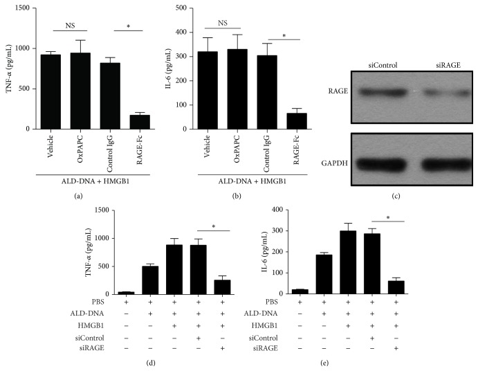 HMGB1-enhanced macrophage inflammatory response induced by ALD-DNA might be dependent on RAGE but not on TLR2 and TLR4. (a-b) RAW264.7 cells were transfected with pHMGB1, and then stimulated with ALD-DNA (50 μ g/mL) in the presence of OxPAPC (30 μ g/mL) or RAGE-Fc (10 μ g/mL) for 24 h. The supernatants were collected and assayed for the concentrations of TNF- α (a) and IL-6 (b) using ELISA. (c) Representative immunoblot of three independent experiments has shown the efficiency of RAGE knockdown. (d-e) RAW264.7 cells transfected with siRAGE and pHMGB1 were stimulated with 50 μ g/mL of ALD-DNA for 24 h. The supernatants were collected and assayed for the concentrations TNF- α (d) and IL-6 (e) using ELISA. ∗ P
