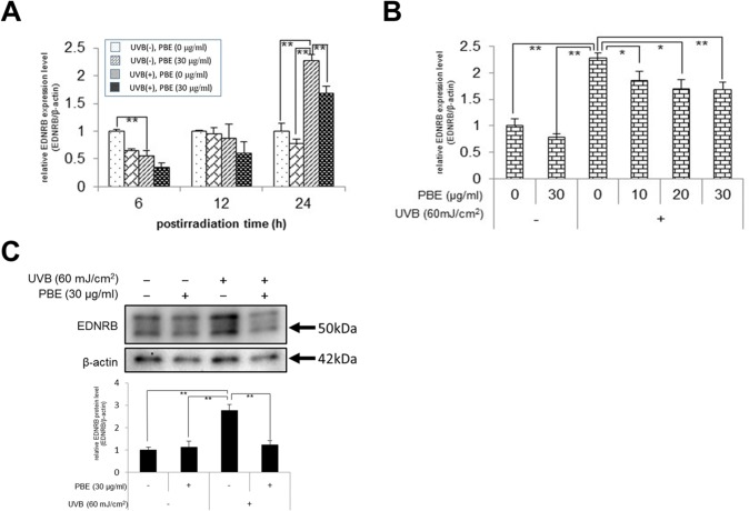 Effect of treatment with UVB and/or PBE on EDNRB expression. (A) Time course of EDNRB mRNA expression in NHMs treated without UVB in the absence of PBE, without UVB in the presence of 30 μg/ml PBE, with 60 mJ/cm 2 UVB in the absence of PBE, or with 60 mJ/cm 2 UVB in the presence of 30 μg/ml PBE and cultured for the indicated periods. (B) Dose dependency of PBE for EDNRB mRNA expression in NHMs at 24 h after treatment with or without 60 mJ/cm 2 UVB in the presence of the indicated concentration of PBE. (C) Western blotting analysis for EDNRB at 24 h after treatment with or without 60 mJ/cm 2 UVB and 30 μg/ml PBE. Protein levels were detected by specific primers and antibodies for EDNRB and β-actin as the internal control. Only the bands with 50 kDa were subjected to densitometic analysis. Error bars represent S.D. from triplicate experiments. *P