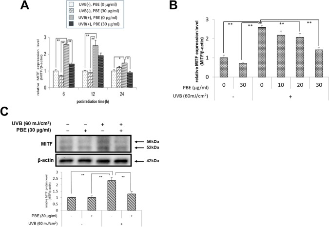 Effect of treatment with UVB and/or PBE on MITF expression. (A) Time course of MITF mRNA expression in NHMs treated without UVB in the absence of PBE, without UVB in the presence of 30 μg/ml PBE, with 60 mJ/cm 2 UVB in the absence of PBE, or with 60 mJ/cm 2 UVB in the presence of 30 μg/ml PBE and cultured for the indicated periods. (B) Dose dependency of PBE for MITF mRNA expression in NHMs at 6 h after treatment with or without 60 mJ/cm 2 UVB in the presence of the indicated concentration of PBE. (C) Western blotting analysis for MITF at 12 h after treatment with or without 60 mJ/cm 2 UVB and 30 μg/ml PBE. Expression levels were detected by specific primers and antibodies for MITF and β-actin as the internal control. Error bars represent S.D. from triplicate experiments. *P