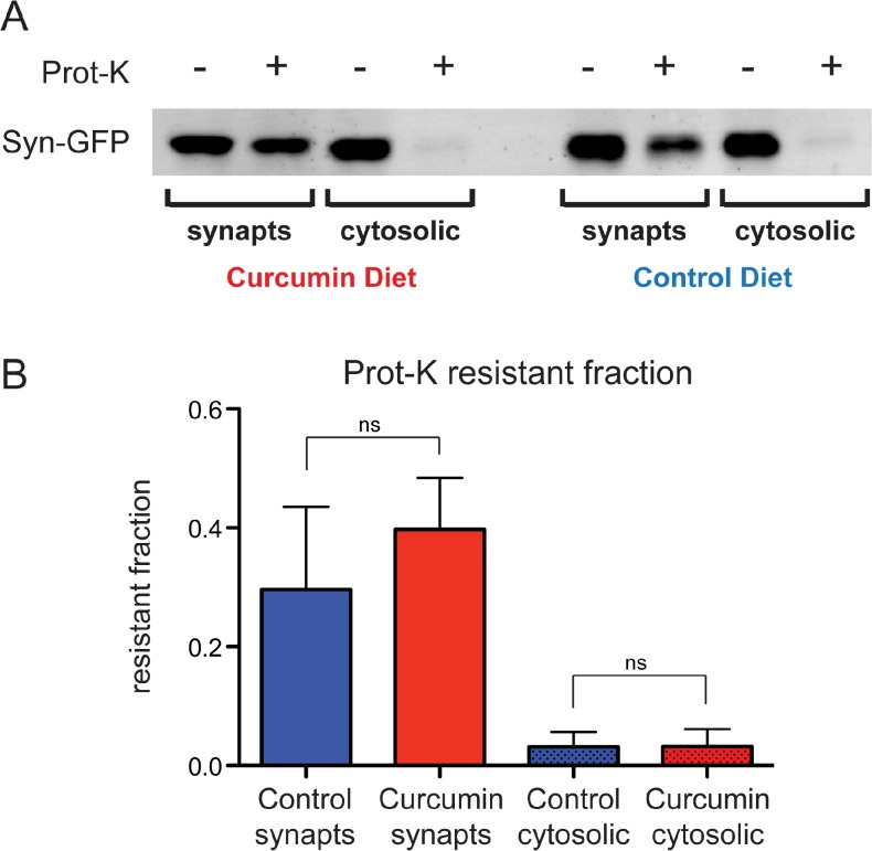 No change in Proteinase-K-resistant aggregates in curcumin diet mice. (A) Western blot detection of Syn-GFP microaggregates, following Proteinase-K digestion of synaptosome and cytosolic protein fractions from control and curcumin diet mice. (B) Quantification of Syn-GFP band intensity shows no change in the resistant fraction between control and curcumin diet mice.