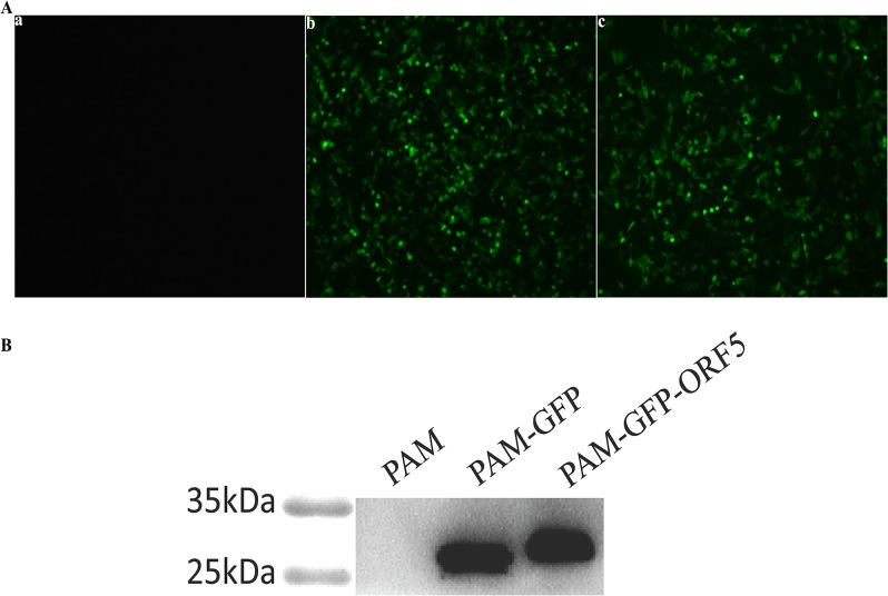Fluorescence detection and Western blot analyses of expression products of GFP-ORF5 fusion protein in PAMs. (A) The cells were observed under an inverted fluorescence microscope (100×). Panel a, mock-transfected PAMs. Panel b, pEGFP-C1- transfected PAMs. Panel c, pEGFP-ORF5- transfected PAMs. (B) Proteins were isolated from whole extracts of the cells expressing GFP-ORF5 protein and control cells, and then subjected to Western blot using anti-GFP antibody.