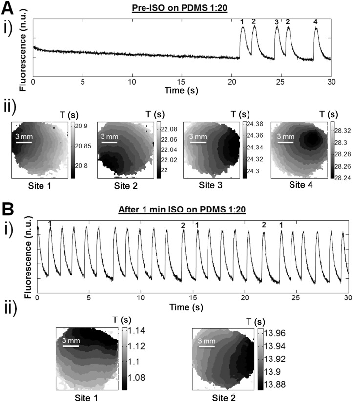 ISO decreases σ period for cardiomyocytes cultivated on PDMS 1:20 and tends to stabilize the rate of contraction. Examples of cardiomyocyte activity stabilization by the addition of isoproterenol. i) A trace of the contractile activity is shown with ii) activation maps of the first beat for each different activation site. A . Conditions before the addition of isoproterenol (Pre-ISO) on PDMS 1:20. B . One minute after adding ISO (100 nM) on PDMS 1:20 substrates. Pharmacological sympathetic stimulation appears to decrease the number of activation sites (from 4 sites pre-ISO to 2 sites after ISO).