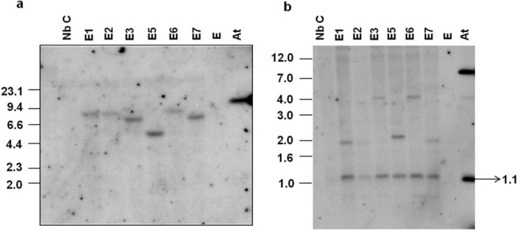 ( a ) Southern blot analysis of virE2 transgenic Nicotiana benthamiana plants with the hpt probe. Total DNA (10 µg) from transgenic (E1-E7) as well as control (Nb C) plants was digested with Eco RI. Agrobacterium tumefaciens (pCAM- virE2 ) DNA (0.25 ng) digested with Eco RI (At) was used as a positive control. The hpt gene (50 ng) labeled with [α- 32 P]dCTP was used as the probe; ( b ) Internal T-DNA fragment and junction fragment analyses of virE2 transgenic plants by Southern blotting. Total DNA (10 µg) from transgenic (E1-E7) and control (Nb C) plants was digested with Eco RV. Total A. tumefaciens (pCAM- virE2 ) DNA (0.25 ng) digested with Eco RV served as a positive control (At). The virE2 gene (50 ng) labelled with [α- 32 P]dCTP was used as the probe.