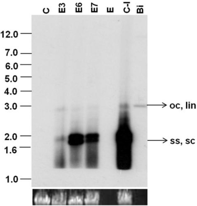 Southern blot analysis of transgenic Nicotiana benthamiana plants agroinoculated with SLCMV-[Attur2] DNA A and DNA B partial dimers. DNA (1 µg) from control uninfected (C), control agroinoculated (C-I), and the three agroinoculated transgenic plants (E3, E6, E7) was loaded in the respective lanes. Bi: SLCMV-[Attur2] full-length DNA A (50 pg) was used as a positive control. [α- 32 <t>P]dCTP-labeled</t> full-length SLCMV-[Attur2] DNA A was used as the probe. Single-stranded (ss), supercoiled (sc), open circular (oc) and linear (lin) forms of viral DNA are marked. E: empty lane. The bottom panel represents equal loading of plant DNA (1 µg) in all lanes.