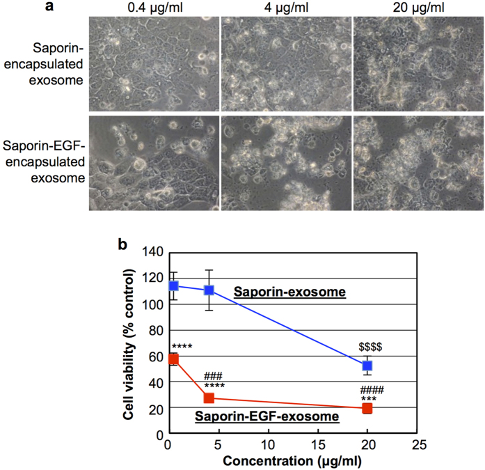Effective cytotoxicity of saporin-EGF-encapsulated exosomes. ( a ) Microscopic observation of A431 cells treated with saporin- or saporin-EGF-encapsulated exosomes (0.4, 4, 20 μg/ml) for 72 h at 37 °C in 10% FBS-containing cell culture medium. ( b ) Cell viability of A431 cells treated with saporin- (blue line) or saporin-EGF- (red line) encapsulated exosomes (0.4, 4, 20 μg/ml) in the same experimental condition of ( a ) analysed using a WST-1 assay. The data represent the average (±SD) of four experiments. *** p
