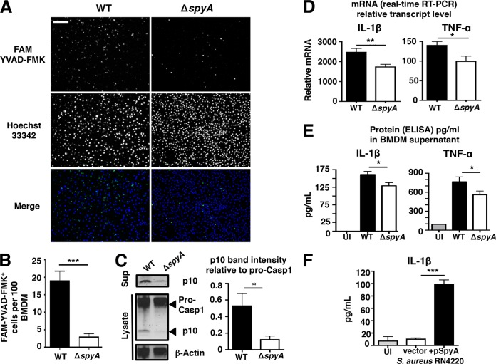 SpyA stimulates a <t>caspase-1-dependent</t> inflammatory response and IL-1β production in macrophages. (A) BMDMs were infected with GAS (AP) at an MOI of ~10. At the end of the assay, cells were washed and stained for 1 h with FAM <t>YVAD-FMK</t> to visualize activated caspase-1 (green) and for 5 min with Hoechst 33342 to visualize DNA (blue) under an epifluorescent microscope. Scale bar, 100 µm. (B) Quantification of FMK YVAD-FMK-positive cells (per 100 cells) from multiple random fields of view ( n = 10) per sample. (C) Western blot illustrating the abundance of pro-caspase-1 and its p10 subunit in GAS-infected BMDM cell lysates and caspase-1 p10 subunit released in the supernatants (Sup). Data represent densitometry quantifications illustrating average levels of active caspase-1 p10 expression in lysates and supernatants relative to pro-caspase 1 expression. Error bars, SEM. *, P