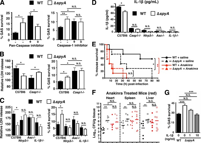 GAS SpyA activation of a caspase-1-dependent inflammasome response is required for bacterial clearance by cultured BMDMs and in vivo . (A) BMDMs were coincubated with GAS (AP) at an MOI of 20 plus 10 µM pan-caspase inhibitor zVAD-FMK (ZVAD) or 25 µM caspase-1 inhibitor Ac-YVAD-CHO (YVAD) for 2 h. Data shown are representative of the results of multiple experiments. (B) Relative levels of LDH release (percentages compared to levels in uninfected [UI] cells; left panel) and bacterial killing (right panel) by WT and Casp-1 −/− BMDMs 2 h postinfection. (C) Relative levels of LDH release (left panel) and bacterial killing (right panel) 2 h postinfection (MOI = 5) by BMDMs isolated from wild-type (C57bl6), Nlrp3 −/− , Asc −/− , and IL-1β −/− mice ( n = 3). Data shown are representative of the results from two or more animals. (D) ELISA shows IL-1β secreted by BMDMs isolated from wild-type (C57bl6), Nlrp3 −/− , Asc −/− , and IL-1β −/− mice after 2 h coincubation with GAS at an MOI of 20. Data shown are representative of the results from two animals. (E) CD1 mice were infected with 7 × 10 5 CFU of WT or Δ spyA GAS (AP) via tail-vein injection ( n = 7 per group). Immediately after infection, anakinra (IL-1 receptor antagonist) was subcutaneously injected at 100 mg/kg over a 12-h interval until the end of survival curve. WT plus saline solution versus Δ spyA plus saline solution, *, P = 0.04; WT plus saline solution versus WT plus anakinra. **, P = 0.0036; WT plus anakinra versus Δ spyA plus anakinra, P = 0.06; Δ spyA plus saline solution versus Δ spyA plus anakinra, P = 0.07 (log rank test with 95% confidence interval); N.S., not significant ( P > 0.05). (F) GAS-infected mice ( n = 8 to 10) were sacrificed 2 days postinfection; heart, spleen, and liver were harvested for CFU enumeration; no statistically significant differences were observed between WT and Δ spyA -infected animals that received anakinra treatment or for Δ spyA -infected animals with saline solution treatment