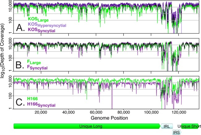 Deep sequence coverage of <t>HSV-1</t> variants from each strain group. Preprocessed sequence reads were aligned to the new draft genomes to assess the coverage depth of each assembly. Coverage depth is plotted on a log 10 scale ( y axis) across the length of the HSV-1 genome ( x axis). Major regions of the HSV-1 genome are diagrammed below the x axis, including the long and short internal repeats (IRL and IRS). Genomes and coverage are shown in a trimmed format ( 12 ), where the terminal copies of IRL and IRS are not included. Coverage tracks are overlaid for (A) HSV-1 KOS variants, (B) HSV-1 F variants, and (C) HSV-1 H166 and H166 Syncytial . The total number of sequence reads obtained was different for each HSV-1 strain, which affects overall coverage depth ( Table 3 ). However, peaks and valleys of coverage depth fall in similar locations on the HSV-1 genome, with the internal repeats (IRL and IRS) showing the most variability in coverage.