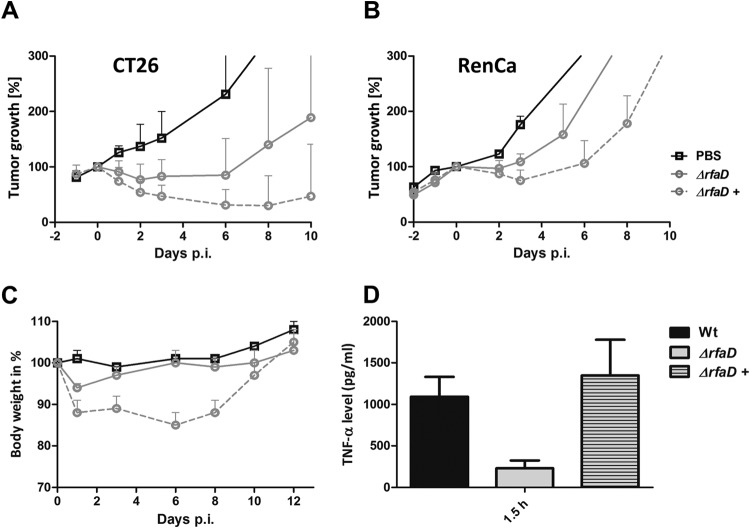 Tumor development upon infection with the arabinose-induced conditionally complemented Salmonella Δ rfaD variant. CT26 (A) and RenCa (B) tumor-bearing mice were infected i.v. with 5 × 10 6 bacteria. Tumor volumes were measured with a caliper. PBS served as a negative control, and SL7207 served as a positive control for comparison. (C) Body weight as an indicator of the general health status of infected mice. Induced (+) Δ araBAD ::P BAD rfaD bacteria exhibited greater virulence but also a stronger antitumor effect. (D) TNF-α levels in sera measured by ELISA at 1.5 hpi. Upon induction with arabinose (+), TNF-α was restored to WT levels. The mean and range are displayed. Results are representative of two independent experiments with five replicates per group.