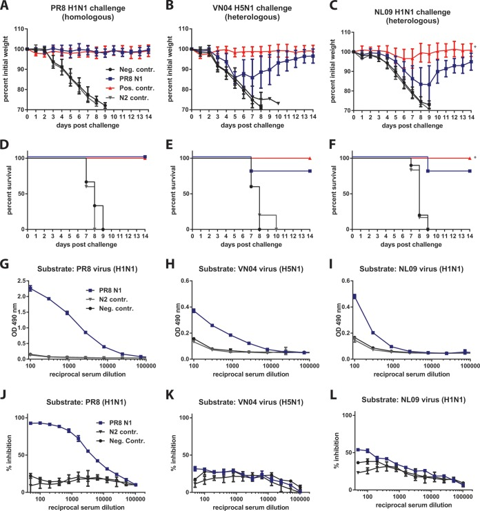 Vaccination with recombinant N1 protects mice from homologous and heterologous viral challenge. (A to C) Six- to 8-week-old naive BALB/c mice ( n = 5 for PR8 N1 group and N2 control group; n = 10 for negative-control group and positive-control groups) were primed and boosted with 10 µg rNA from PR8 (5 µg delivered i.m. and 5 µg delivered i.n.) adjuvanted with poly(I ⋅ C). Negative-control mice were primed and boosted with 10 µg BSA (5 µg delivered i.m. and 5 µg delivered i.n.) adjuvanted with poly(I ⋅ C). Positive-control mice received a 1-µg i.m. prime and boost of a formalin-inactivated, unadjuvanted virus matching the challenge strain. Additionally, one experimental group was primed and boosted with rN2 in a fashion identical to the method used for the N1-vaccinated mice. Upon challenge, weight loss was monitored for 14 days postinfection as a measure of morbidity. Graphs plot the average amounts of weight loss as percentages of initial weight with standard deviation (SD). (D to F) Survival curves from the challenge experiments whose results are shown in panels A to C. (G to I) Pooled sera from individual mice (PR8 N1 vaccinated, rN2 vaccinated, or naive) in each experimental group were tested in triplicate for reactivity to purified virus via ELISA. (J to L) The same sera used in the experiment whose results are shown in panels G to I were tested in triplicate for NI activity against the respective challenge viruses. *, positive-control data shown in panels C and F were collected from the high-challenge-dose group (10 mLD 50 ). n = 5 mice per group unless otherwise stated.