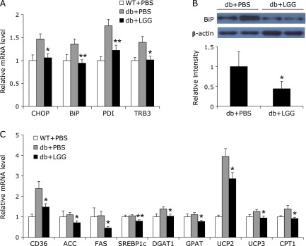 LGG alleviates ER stress by decreasing lipotoxicity in skeletal muscle of db/db mice. (A) Effect of LGG treatment on mRNA expression of ER stress genes in skeletal muscle. Total RNA were extracted from skeletal muscle of mice ( n = 9 or 10 per group) and gene expression levels were analyzed. (B) BiP protein levels in skeletal muscle of PBS- and LGG-treated mice ( n = 4 or 5 per group). Proteins were extracted from the tissue for SDS-PAGE-immunoblot analysis. (C) Effect of LGG treatment on mRNA expression of genes associated with lipid metabolism in skeletal muscle (9 or 10 mice per group). All genes are normalized with mRNA expression level of β-actin. Data represent means ± SEM. * p