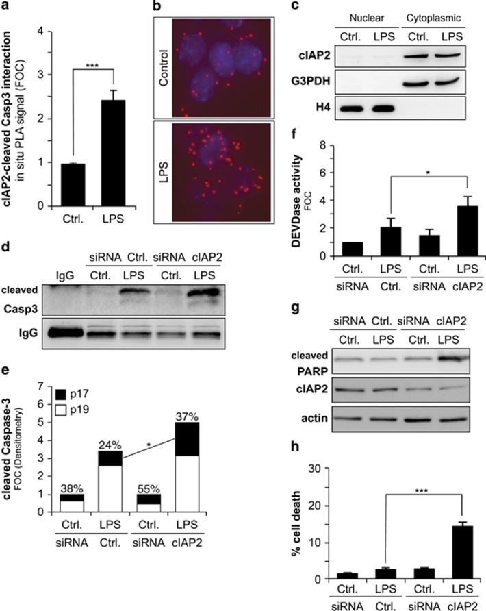 cIAP2 interaction with cleaved <t>caspase-3</t> regulates the conversion of p19 into p17 caspase-3 subunit, its enzymatic activity and apoptosis in microglia. ( a ) Quantification of in situ PLA demonstrating protein interactions between cleaved caspase-3 <t>Asp175</t> and cIAP2 occurring in LPS-treated BV2 microglia cells as compared with untreated cells. Data are presented as mean±S.E.M. of fluorescent dots/cell; n =3; *** P