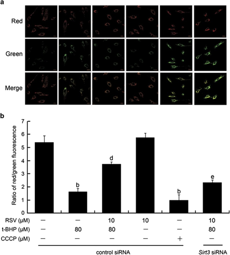 RSV suppressed t-BHP-induced collapse of mitochondrial membrane potential in HUVECs. Sirt3 was knocked down by Sirt3 siRNA transfection as described in the Materials and Methods section. At 24-h post-transfection, cells were pretreated with RSV of 10 μ M for 2 h, washed, and then treated with or without t-BHP of 80 μ M for an additional 4 h. ( a ) Determination of Δ ψ m was carried out using CLSM. Red fluorescence was emitted by JC-1 aggregates in healthy mitochondria with polarized inner mitochondrial membranes, whereas green fluorescence was emitted by cytosolic JC-1 monomers, indicating Δ ψ m dissipation. Merged images indicate co-localization of JC-1 aggregates and monomers. ( b ) Δ ψ m in each group was calculated as the ratio of red to green fluorescence. All results are presented as mean±S.E.M. of at least three independent experiments. b P