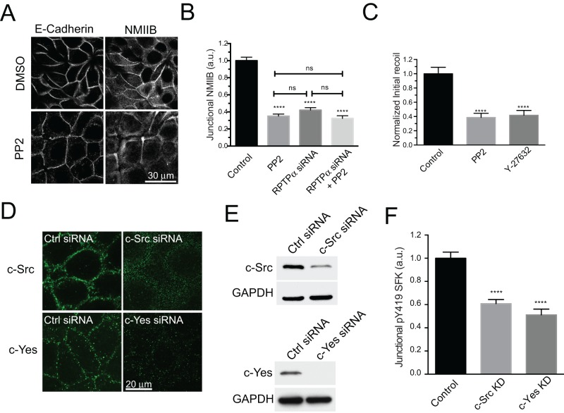 c-Src and c-Yes contribute to junctional SFK signaling in MCF-7 cells. (A and B) Quantitative immunofluorescence analysis of NMIIB at the ZA in MCF-7 cells treated with control, PP2, RPTPα siRNA, and RPTPα siRNA+PP2 (25 μM, 1 h). Representative images of E-cadherin and NMIIB in control and PP2-treated cells (A) and quantitative line-scan analysis of NMIIB fluorescence at junctions (B). (C) Normalized initial recoil values for laser nanoscissor experiments performed in MCF-7 cells treated with control, PP2 (25 μM, 1 h) and Y-27632 (30 μM, 1 h). (D) Immunofluorescence and (E) Western blot analysis of c-Src and c-Yes kinases in control cells and cells transfected either with a c-Src siRNA or c-Yes siRNA. (F) Quantitative analysis of pY419 SFK at the ZA in control, c-Src KD, and c-Yes KD MCF-7 cells. Data in B, C, and F are means ± SEM for at least 40 contacts per condition. ****, p