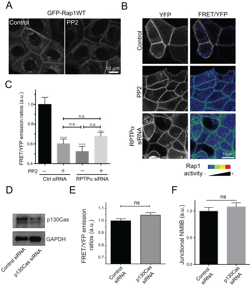 Rap1 is a downstream target of junctional SFK signaling. (A) Subcellular distribution of GFP-Rap1WT in Control and PP2-treated cells analyzed by live-cell imaging. (B) FRET/YFP emission ratio images of cells transfected with Raichu-Rap1 FRET biosensor in control cells, PP2-treated cells, and cells transfected with RPTPα siRNA. (C) Quantitative analysis of Rap1 activity (FRET/YFP) emission ratios at the ZA of control, PP2-treated, RPTPα KD, and PP2-treated RPTPα KD cells. Data in C are means ± SEM for at least 25 images (∼90–100 cells) per condition. **, p