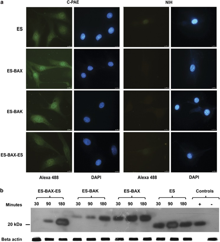 Internalization of ES, ES-BAX, ES-BAK, and ES-BAX-ES by endothelial cells. ( a ) C-PAE or NIH 3T3 cells were incubated at 37°C for 2 h with 10 μ g/ml of the biotynilated proteins: ES, ES-BAX, ES-BAK, or ES-BAX-ES. The cells were then fixed, permeabilized, and incubated with Alexa 488 conjugated with streptavidin. The nucleuses were stained with DAPI. The cells were analyzed under a fluorescence microscope. Scale bar: 10 μ m. ( b ) Western blot of endothelial C-PAE cells incubated with 10 μ g/ml of the indicated proteins at 37°C and detected by anti-ES antibody. Control (+): ES; control (−): lysate of cells incubated with ES that were immediately processed for western blot ( t =0 min)