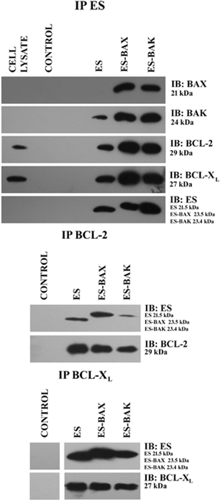 Interaction of ES, ES-BAX, and ES-BAK with members of the BCL-2 family. Whole cell lysates of 10 7 endothelial cells (HUV-EC-C) were incubated in the absence or presence of 100 μ g/ml ES, ES-BAX, or ES-BAK. The ES, ES-BAX, or ES-BAK complexes bound to cellular proteins (BCL-2, BCL-X L , BAX, or BAK) were incubated with the antibodies indicated for co-immunoprecipitation, captured on Protein G agarose beads, and subsequently subjected to SDS-PAGE. The complexes were detected by immunoblotting with the indicated antibodies. Similar blots were probed with the same antibodies that were used for co-immunoprecipitation, to ensure that equivalent amounts of proteins were present in each reaction. Cell lysates were applied at equivalent volumes. Non-related monoclonal antibodies were used to control co-immunoprecipitation