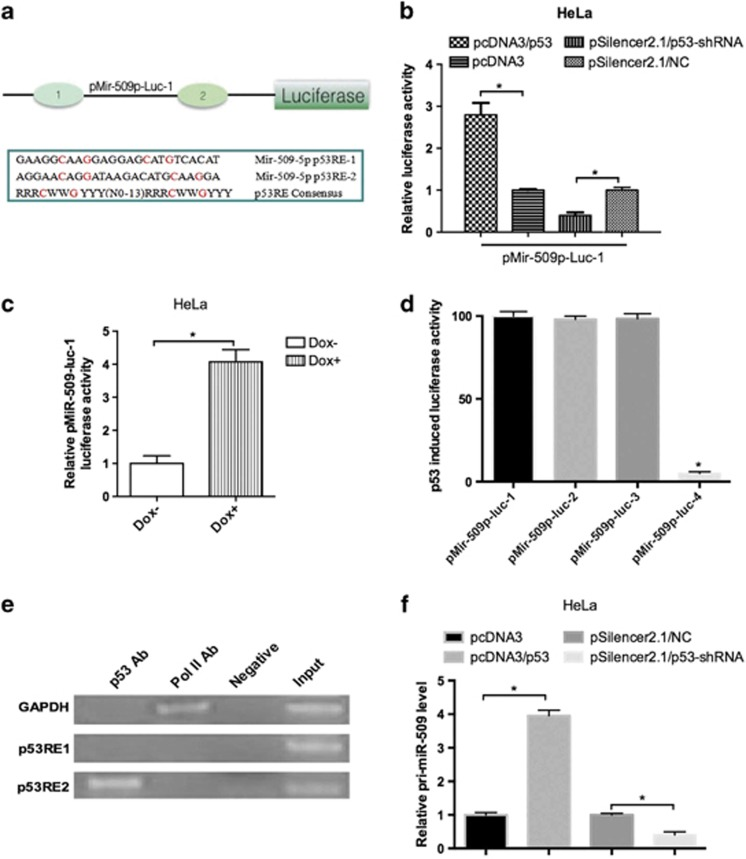 p53 induces the miR-509-5p promoter activity. ( a ) A schematic description of the putative miR-509-5p promoter with two potential p53 response elements, p53RE1 and p53RE2, is shown compared with the p53RE consensus, where R=A or G; W=A or T and Y=C or T. C and G in red are the conserved nucleotides. ( b ) pMir-509p-Luc-1 luciferase assays in HeLa cells with overexpression or knockdown of p53. ( c ) pMir-509p-Luc-1 luciferase assays in HeLa cells treated with 1 μ g/ml doxo. ( d ) Deletion analysis identifies p53RE2-mediated p53-induced miR-509-5p promoter luciferase activity. pMir-509p-Luc-2: p53RE1 was deleted; pMir-509p-Luc-3: the upstream sequence of pRE2 was deleted; pMir-509p-Luc-4: pRE2 sequence was deleted. ( e ) ChIP assay shows that p53 directly interacts with p53RE2. GAPDH sequence that can bind to Pol II antibody serves as a positive control. Normal mouse IgG was used as the negative control. ( f ) miR-509-5p primary transcript was detected by qRT-PCR (* P