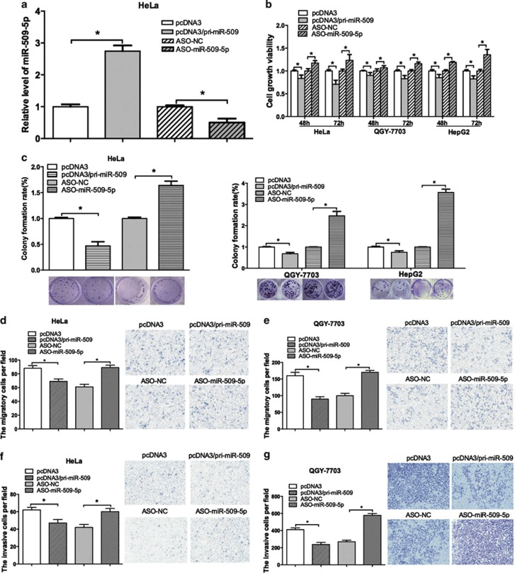 miR-509-5p serves as a tumor suppressor. ( a ) qRT-PCR was performed to examine the alterations of miR-509-5p expression after transfection with pri-miR-509 and ASO-miR-509-5p in HeLa cells. U6 snRNA was used as an internal control. ( b and c ) The effects of overexpression or knockdown of miR-509-5p on cell viability were detected using an MTT assay, and the long-term effects on proliferative capacity were examined after transfection using a colony formation assay in HeLa, QGY-7703 and HepG2 cells. ( d and e ) Transwell migration assays were performed with HeLa and QGY-7703 cells transfected with pri-miR-509, ASO-miR-509-5p and the corresponding control vectors. Transwell assays without Matrigel demonstrated that miR-509 significantly decreased the migration of HeLa and QGY-7703 cells when compared with the control vector groups. The results were consistent when miR-509-5p was depleted. ( f and g ) Transwell assays with Matrigel demonstrated that miR-509 overexpression significantly promoted the invasion of HeLa and QGY-7703 cells when compared with the control vector groups. The results were consistent when miR-509-5p was depleted (* P