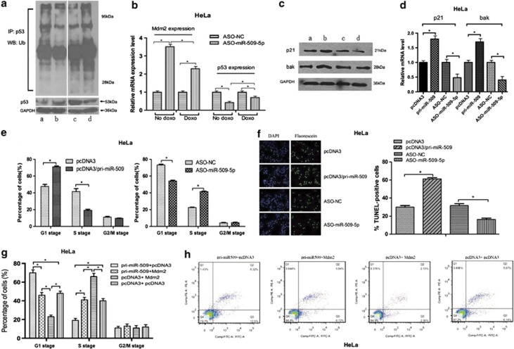 Role of miR-509-5p in the regulation of cell cycle and apoptosis. ( a ) Overexpression of miR-509-5p enhanced p53 ubiquitination, and inhibition of miR-509-5p by ASO-miR-509-5p attenuated endogenous p53 ubiquitination in HeLa cells (top panel). The bottom panel shows the effect of miR-509-5p or ASO-miR-509-5p on p53 expression. a, b, c and d represent the cells transfected with pcDNA3, pcDNA3/pri-miR-509, ASO-NC and ASO-miR-509, respectively. ( b ) The mRNA level of Mdm2 and p53 in the presence of ASO-miR-509-5p with or without treatment of doxo. ( c ) The HeLa cells were treated with miR-509-5p or ASO-miR-509-5p for 48 h and were then lysed. Western blot analysis was used to detect p21 and bak expression. a, b, c and d represent the cells transfected with pcDNA3, pcDNA3/pri-miR-509, ASO-NC and ASO-miR-509, respectively. ( d ) qRT-PCR was used to detect the mRNA levels of p21 and bak in HeLa cells. ( e and f ) Cell cycle progression and apoptosis were analyzed using FACS and TUNEL assay in HeLa cells. ( g and h ) Rescue experiment to detect miR-509-5p effect in Mdm2-transfected HeLa cells (* P