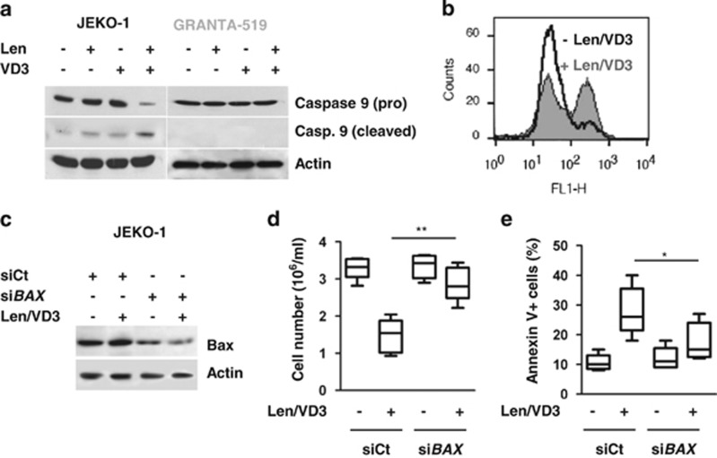 The combined Len/VD3 treatment activated caspase 9, induced mitochondrial depolarization and involved Bax. ( a ) The Len/VD3 treatment induced caspase 9 activation. MCL cells (2 × 10 5 cells/ml) were incubated for 4 days with or without 1 μ M Len, 100 nM VD3 or Len/VD3. Cells were then lysed and activation of caspase 9 was assessed by western blotting. A representative experiment out of three is shown. ( b ) The Len/VD3 treatment induced mitochondrial depolarization. Z-138 cells (2 × 10 5 cells/ml) were incubated for 4 days with or without 1 μ M Len and 100 nM VD3, and then stained with JC-1. A representative experiment out of three is shown. ( c – e ) Silencing of BAX prevented cell death induced by Len/VD3 combination. JEKO-1 cells (5 × 10 5 /ml) were seeded for 48 h with or without the Len/VD3 combination (1 μ M Len and 100 nM VD3) before transfection with sicontrol (siCt) or si BAX RNA. Then, transfected cells were reseeded (5 × 10 5 /ml) for additional 3 days with or without the Len/VD3 combination. ( c ) Western blotting analysis of Bax expression. Bax expression was assessed in siCt- and si BAX- transfected JEKO-1 cells treated or not with Len/VD3 combination. ( d ) Len/VD3 induced a Bax-dependent decrease in cellularity. The cellular density was measured by a direct counting. The data represent five independent experiments. ( e ) Len/VD3 induced a Bax-dependent cell death. Cells were stained with Annexin V and fluorescence was analyzed on a FACSCalibur. The data represent five independent experiments. * P