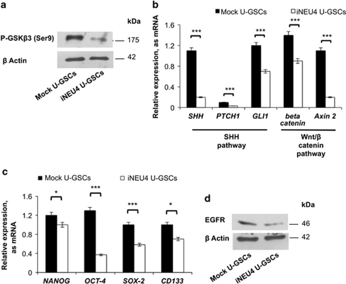 Effects of NEU4 silencing on signalling pathways related to stemness. ( a ) Western blot analysis of P-GSK-3 β (Ser9) in mock and iNEU4 U-GSCs. β -Actin was used as loading control. ( b ) Real-time PCR analysis of SHH , PTCH1 , GLI-1 , β catenin, axin 2 , and ( c ) NANOG , OCT-4 , SOX-2 , and CD133 in mock and iNEU4 U-GSCs. ( d ) Western blot analysis of EGFR in mock and iNEU4 U-GSCs. β -Actin was used as loading control. Values are the mean±S.D. of five independent experiments. Significance is based on the Student's t -test: * P