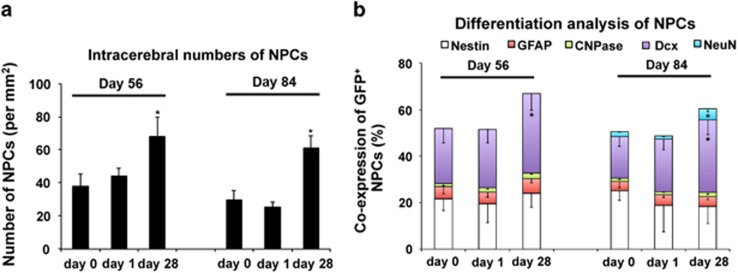 Post-acute transplantation of neural progenitor cells (NPCs) yields high neuronal differentiation rates. NPCs were intravenously transplanted at the time points given (i.e., day 0, day 1, and day 28 post stroke) and animals were killed on day 56 or on day 84 followed by immunohistochemical analyses. ( a ) Assessment of GFP + NPCs within the ischemic hemisphere depending on cell delivery time points. ( b ) Differentiation analysis of GFP + NPCs from ( a ) regarding co-expression of Nestin, GFAP, CNPase, Dcx and NeuN. All data are given as mean±S.D. *Significantly different from controls, P