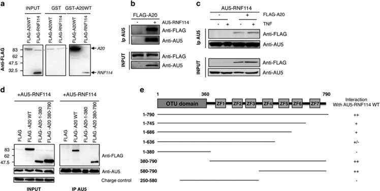 RNF114/ZNF313 interacts with A20. ( a ) Pull-down experiment using GST-A20 or GST fusion proteins and lysates of HEK293 cells transfected with FLAG-A20WT or FLAG-RNF114 is shown (* indicates unspecific band). ( b ) HEK293 cells were transfected with FLAG-A20WT and when indicated with AU5-RNF114. AU5-RNF114 immunoprecipitation was used to confirm the interaction with FLAG-A20. ( c ) HEK293 cells were transfected with AU5-RNF114 and FLAG-A20WT as indicated. Cells were treated with TNF α for 20 min and lysates were submitted to anti-AU5 immunoprecipitation ( d ) HEK293 cells were transfected with different forms of FLAG-A20 (WT, N-terminal: 1–390, C-terminal: 390–790) and AU5-RNF114 to determine which domains were involved in the interaction between A20 and RNF114. ( e ) Different constructs of A20 were prepared to define its interaction domain with RNF114. Results of immunoprecipitation experiments are shown. T he symbol '−' indicates no interaction and '+' indicates interaction