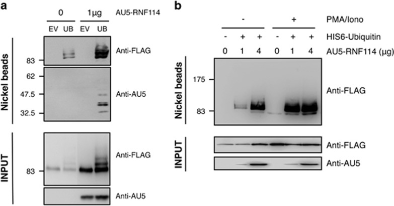 Effect of RNF114 on A20 ubiquitylation. ( a ) HEK293 cells were transfected with FLAG-A20WT in the presence or not of His6-ubiquitin and AU5-RNF114 as indicated. His 6 -ubiquitylated proteins were purified using denaturing conditions and Ni 2+ chromatography. EV, empty vector; UB, His 6 -ubiquitin. ( b ) HEK293 cells were transfected with FLAG-A20WT in the presence or not of His6-ubiquitin and different amounts of AU5-RNF114 as indicated. Cells were stimulated for 30 min or not with PMA and ionomycin. His 6 -ubiquitylated proteins were purified using denaturing conditions and Ni 2+ chromatography