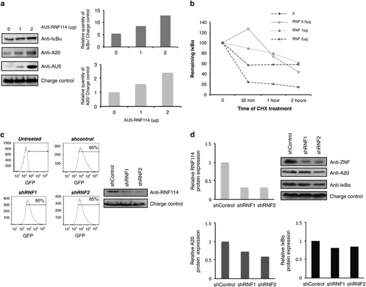 RNF114 increases the stability of both I κ B α and A20. ( a ) HEK293 cells were transfected with different amounts of AU5-RNF114. Western blot analysis with anti-I κ B α , -A20, -AU5 and -GAPDH (charge control) antibodies are presented. Graphs representing the relative amounts of I κ B α or A20 versus the charge control (GAPDH) of the western blots are shown. Representative result of different experiments is presented. ( b ) HEK293 cells were transfected with different amounts of RNF114 and treated for the indicated times with CHX (10 μ g/ml). A representative graph of three independent experiments is shown. ( c ) RNF114-specific gene silencing by lentivirus-mediated shRNA in Jurkat T cells. (Left panel) The percentage of infected cells was quantified by flow cytometry. (Right panel) Levels of protein expression were analyzed by western blot with the indicated antibodies. ( d ) Analysis of RNF114, A20 and I κ B α protein expressions in Jurkat T cells transduced with shControl or shRNF1 and 2. Western blot analysis with RNF114, A20 and I κ B α antibodies are presented as well as a corresponding quantification. Representative result of different experiments is presented