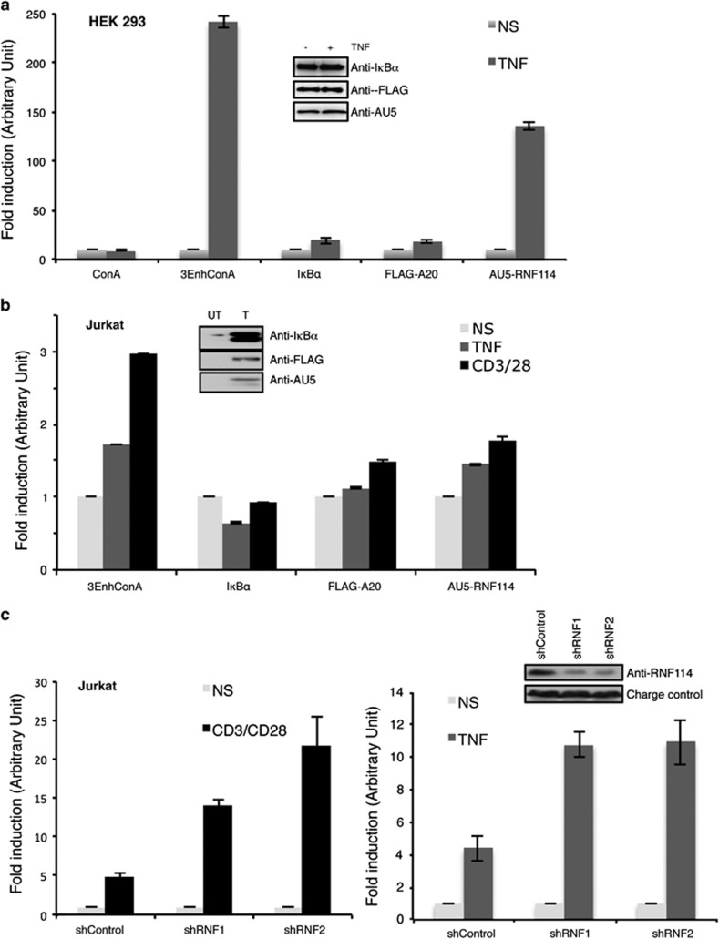 RNF114 is involved in the regulation of NF- κ B activity. ( a ) Luciferase assay using the 3- κ B enhancer ConA-luciferase plasmid (3-EnhConA) in the presence of the indicated vectors in HEK293 cells stimulated or not with TNF α (5 h). The graph represents the mean of three independent experiments done in triplicate. Levels of protein expression were analyzed by western blot with the indicated antibodies. ( b ) Luciferase assay using the 3-EnhConA reporter plasmids in the presence of the indicated vectors in Jurkat T cells stimulated for 5 h or not with TNF α or with the anti-CD3/CD28 antibodies. The graph represents the mean of three independent experiments done in triplicate. Levels of protein expression were analyzed by western blot with the indicated antibodies. ( c ) Luciferase assay using the 3-EnhConA reporter plasmids in Jurkat T cells stably transduced with shcontrol, shRNF1 or shRNF2 and stimulated or not with anti-CD3/CD28 antibodies (left panel) or with the TNF α (right panel). Each graph represents the mean of three independent experiments done in triplicate
