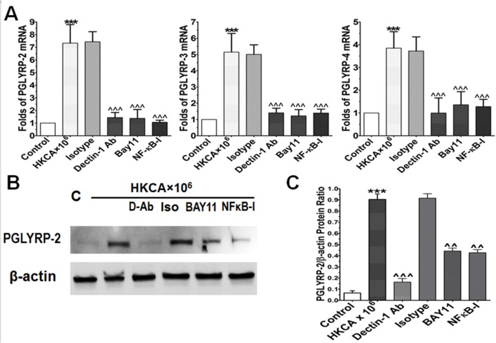 Dectin-1 and NF-κB signaling pathways involve PGLYRPs induction in HCECs exposed to HKCA. A. The HCECs were exposed to 10 6 cells/ml HKCA with prior incubation in the absence or presence of isotype IgG (10μg/ml), dectin-1 Ab (10μg/ml), BAY11-7082 (10μM) or NF-κB activation inhibitor quinazoline (NF-κB-I, 10μM) for 1 h. Cultures treated by HKCA for 4 h were subjected to RT-qPCR to measure mRNA. B. Total protein of HCECs treated for 48 hours was extracted with RIPA buffer for western blot to examine PGLYRP-2 production. C. Protein levels of PGLYRP-2 were evaluated by western blot using β-actin as control with quantitative ratio of PGLYRP-2/β-actin. Results shown are the mean ± SD of four independent experiments; *** p