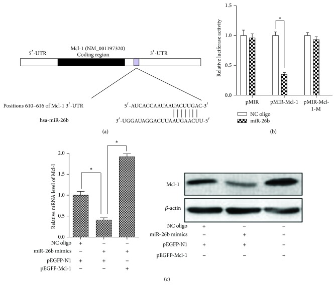 Mcl-1 mRNA 3′-UTR is the direct target of miR-26b. Three independent experiments were performed. (a) A predicted binding site of miR-26b in 3′-UTR of human Mcl-1 mRNA. (b) HepG2 cells were cultured in 48-well plates and were cotransfected with the reporter plasmids (pMIR-Mcl-1, pMIR-Mcl-1-M, or empty pMIR) and RNA oligos (miR-26b mimics or NC oligo) for 24 h. Then the luciferase activity was determined with Dual-Luciferase Reporter System. The expression of the reporter containing wild type 3′-UTR of Mcl-1 was suppressed by miR-26b, but not in the mutated construct or empty plasmid. ∗ P