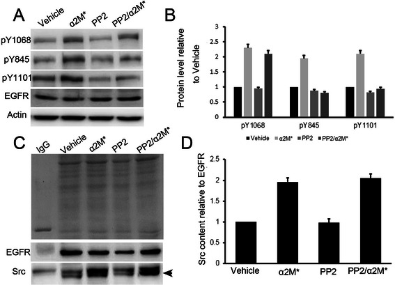 Association of Cell surface GRP78 with α2M* facilitated the maximal activation of EGFR in a c-Src dependent manner. (a) Western blot analysis of the expression and phosphorylation of EGFR in serum starved QGY-7703 treated with vehicle, α2M*, PP2 or PP2 in combination with α2M*. (b) Quantitative analysis of the expression and phosphorylation of EGFR in serum starved QGY-7703 treated with vehicle, α2M*, PP2 or PP2 in combination with α2M*. (c) Co-immunoprecipitation analysis of the interaction between c-Src and EGFR in serum starved QGY-7703 cells treated with vehicle, α2M*, PP2 or PP2 in combination with α2M*. (d) Quantitative analysis of the interaction between c-Src and EGFR in serum starved QGY-7703 cells treated with vehicle, α2M*, PP2 or PP2 in combination with α2M*