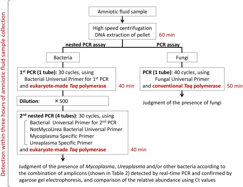 The workflow of the rapid detection method for Mycoplasma , Ureaplasma , other bacteria and fungi in amniotic fluid samples. Using this PCR-based method, pathogens can be detected within three hours of amniotic fluid sample collection. To prevent the occurrence of unreliable results in PCR-based assaying of amniotic samples for bacterial pathogens, eukaryote-made thermostable DNA polymerase (or Taq polymerase), which is free from bacterial DNA contamination, is used in combination with bacterial universal primers (along with two specific primers in the second, nested PCR). In contrast, for fungal pathogens, conventional bacterially-made thermostable DNA polymerase (or Taq polymerase), which is usually free from fungal DNA contamination, is used in combination with fungal universal primers.