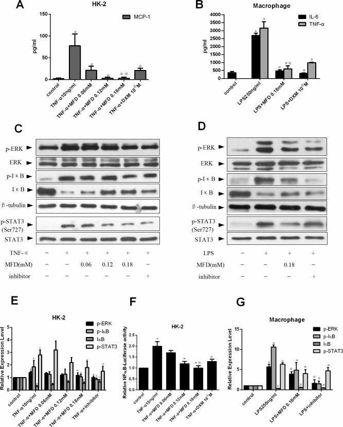 Mefunidone inhibited cytokine release and affected ERK1/2, NF-κB and STAT3 signaling pathways in HK-2 cells and macrophages. A . Mefunidone inhibited cytokine release in HK-2 cells culture supernatants using enzyme-linked immunosorbent assay (ELISA). B . Mefunidone inhibited cytokine release in macrophages culture supernatants using ELISA. C and E . Mefunidone affected the phosphorylation of ERK1/2, NF-κB and STAT3 stimulated with TNF-α in HK-2 cells. The inhibitor was PD98059 (10 −6 μM), BAY (10μM) or AG490 (150μM) respectively. The columnar section was the optical density of the gels tested by Western blot. D and G . Mefunidone affected the phosphorylation of ERK1/2, NF-κB and STAT3 stimulated with LPS in macrophages. The inhibitor was PD98059 (10 −6 μM), BAY (10μM) or AG490 (150μM) respectively. The columnar section was the optical density of the gels tested by Western blot. F . Assays of luciferase activity were performed and pNF-κB-luciferase activity was normalized to pRL-SV40 luciferase activity in HK-2 cells. The data were presented as means±SD, n = 3. (*p