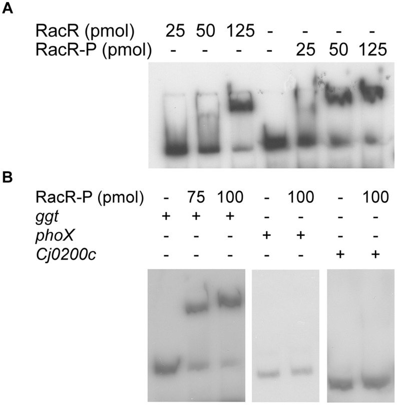 RacR binds to the ggt promoter region as shown by electrophoretic mobility shift assays (EMSA) . <t>DIG-labeled</t> <t>PCR</t> fragments (~50 fmol) containing the ggt, phoX , or Cj0200c promoter regions were incubated with RacR as indicated. (A) Influence of the phosphorylation of RacR on the binding to the ggt promoter. RacR was phosphorylated by RacScyto in the presence of ATP. (B) EMSA of the ggt, phoX , and Cj0200c promoter regions with phosphorylated RacR protein. The phoX and Cj0200c promoter regions were used as negative controls. RacR-P, phosphorylated RacR.