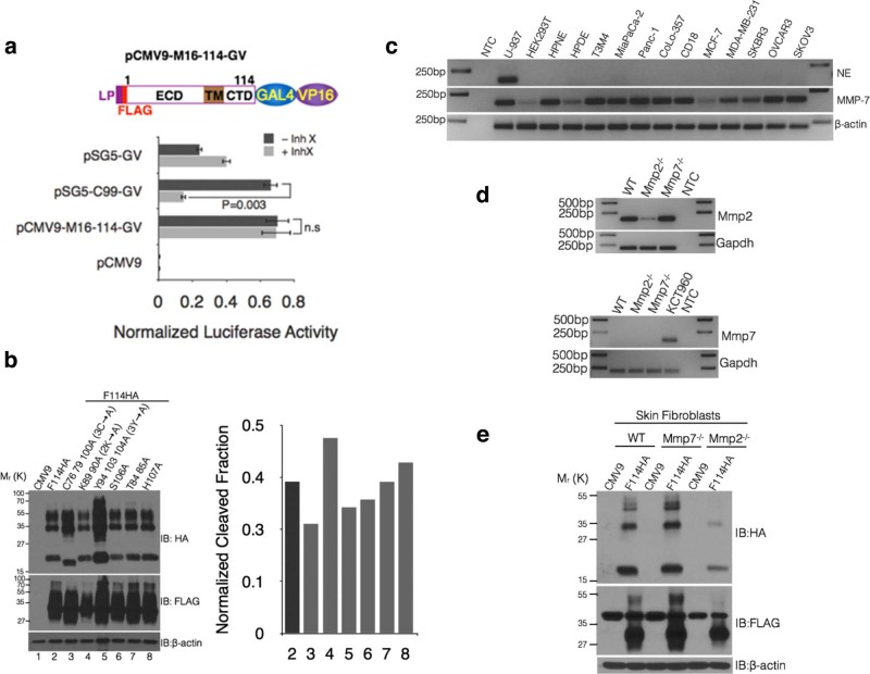 Cleavage of MUC16 is independent of Υ-secretase, neutrophil elastase and MMP-7 and intracellular cues. (a) MUC16 does not undergo Υ-secretase-mediated regulated intra-membrane proteolysis (RIP). Schematic representations of luciferase reporter construct to assess RIP of MUC16-Cter. A GAL4 (DNA-binding domain)-VP16 (Activation domain) fusion was cloned into the C-terminus of the MUC16-Cter <t>(CMV9-FLAG-114</t> amino acid fragment) (top panel). Bottom panel: HEK293T cells were cotransfected with empty CMV9 vector (pCMV9) or with M16-114-GAL4-VP16 (pCMV9-M16-114-GV) or APP-C99-GAL4-VP16 (pSG5-C99-GV, positive control for Υ-secretase cleavage) and a luciferase reporter driven by the GAL4 upstream sequence (pFR-Luc) along with pRenilla-Luc for transfection control in the presence or absence of Υ-secretase inhibitor, Inhibitor X (Inh X). The bars represent the normalized luciferase activity of pFR-Luc to pRenilla-Luc of a representative experiment and is presented as mean ± s.e.m, n = 3. (b) MUC16 cleavage was independent of intracellular cues. Amino acids capable of any kind of post-translational modifications were mutated to Ala in the CMV9-F114HA construct and were transfected into HEK293T cells. Cell lysates were immunoblotted with qanti-HA and FLAG antibodies (left panel). Bars on the right represent the normalized cleaved fraction measured by generating a ratio of normalized (with actin) bottom-HA/total-HA (see cleaved fraction calculation in materials and methods). (c) Expression of ELA2 and MMP-7 in multiple cells lines. Expression of ELA2 and MMP-7 were assessed using reverse transcriptase PCR (RT-PCR). U-937 cells were used as a positive control for ELA2 expression. (d) Skin fibroblasts established from Mmp7 −/− and Mmp2 −/− mice were analyzed for the expression of Mmp2 and Mmp7 using RT-PCR. KCT960 cells were used as a positive control for Mmp7 expression. (e) Skin fibroblasts from Mmp7 −/− and Mmp2 −/− mice were transiently transfected with control (CMV9) and MUC16-Cter (F114HA) plasmids and the cell lysates were immunoblotted with respective antibodies to assess the role of Mmp7 (and therefore MMP7) in the cleavage of MUC16. Mmp2 −/− fibroblasts were used as a control.