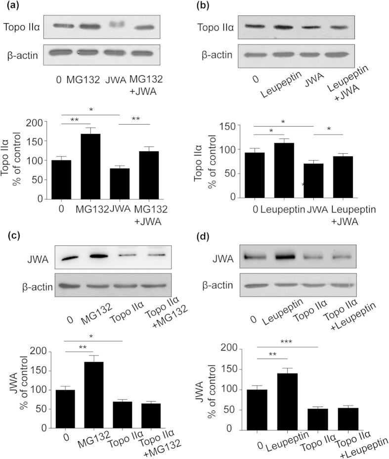 Different degradation pathway regulated the inverse interaction between topoisomerase IIα and JWA protein expression. ( a ) and ( b ) NCI-H460 cells were transiently transfected with Flag-JWA plasmid (2.5 μg) for 24 h, incubated with (+) or without (-) MG-132 (5 μM) for 8 h or <t>leupeptin</t> (5 μM) for 20 h. Western blotting was carried out to confirm the level of topoisomerase IIα. ( c ) and (d) NCI-H460 cells were transiently transfected with Flag- topoisomerase IIα plasmid (2.5 μg) for 24 h and co-treated with (+) or without (-) MG-132 (5 μM) for 8 h or leupeptin (5 μM) for 20 h. JWA protein was detected by anti-JWA antibody. β-actin expression served as a loading control. Error bars represent the mean ± SD of triplicate experiments. Statistical differences to the controls were shown as *p