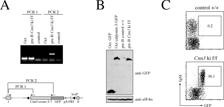 Calponin-3-GFP is expressed from the endogenous Cnn3 locus. A. RT-PCR analysis of the Cnn3 mRNA splicing in targeted cells. Total RNA from the pre-B cell line Oct as well as from pre-B cells derived from a Cnn3 ki f/f mouse was transcribed into cDNA and analyzed by PCR. Primer pairs for PCRs 1 and 2 are depicted in the schematic illustration of the targeted allele. A sample lacking cDNA served as a control. B. Western blot analysis for expression of the calponin-3-GFP fusion protein from the targeted Cnn3 locus. Pre-B cells derived from a Cnn3 ki f/f mouse or a non-targeted littermate were lysed and subjected to SDS-PAGE and blotting. Oct pre-B cells expressing GFP and calponin-3-GFP were used as a control. Equal loading was demonstrated by anti-eIF4α. C. Flow cytometric analysis of cells from a Cnn3 ki f/f mouse or a non-targeted +/+ littermate. Cells were isolated from the bone marrow of the respective mice, stained with an anti-IgM antibody and analyzed for expression of IgM and GFP by flow cytometry. Numbers indicate the percentage of cells in the respective gate.