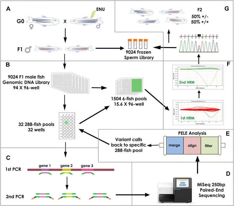 NGS-TILLING process. A : A long-term resource for many TILLING screens consisting of a genomic DNA sample and a corresponding cryopreserved sperm sample was prepared from 9,024 F1 ENU-mutagenized male zebrafish. B : Library Pooling. Normalized genomic DNA (gDNA) was pooled twice: first, gDNA from 6 fish was pooled together to make 1,504 6-fish pools in 16 96-well plates. These six-fish pools will be used for HRM identification of carrier fish (step F ). Second, groups of 48 6-fish pools were pooled together into 288-fish pools (a total of 32 288-fish pools). C : Target Preparation. gDNA from 288-fish pools was used as a template for PCR amplification of ~250 bp fragments corresponding to exons of genes of interest using gene-specific primers with P5/P7 SEQ tails (green). After normalization, amplicons from each 288-fish pool were combined and used as template for a brief second PCR that added <t>Nextera</t> index sequences (blue) and Illumina P5/P7 sequences (yellow). D : Sequencing: All amplicons from the entire library were combined and sequenced (Illumina MiSeq platform), generating fully overlapping 250 bp paired-end sequences. E : Data Analysis. Sequence analysis using PELE and PoDATA identified rare deleterious variants (occurring in 1/100 to 1/1000 reads) in single 288-fish pools. F : Deconvolution. A fragment centered on a putative variant call was amplified from each of the 48-six-fish pools used to make up the 288-fish pool in which that variant was detected, and was subjected to High Resolution Melt (HRM) Analysis. Then HRM of the six individual fish in the six-fish pool that showed distinct melting kinetics identified the individual carrier. G : Mutant Recovery. Finally, the presence of the variant identified by PELE and PoDATA was confirmed in that fish by Sanger sequencing. F2 heterozygotes were generated by in vitro fertilization of WT eggs with the corresponding cryopreserved sperm sample.