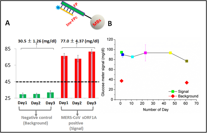 Stability and reproducibility of modified magnetic beads. ( A ) LAMP-to-glucose assays with 2E4 copies of MERS-CoV sORF1A target DNA (Day 1, Day 2, and Day 3, red) and buffer controls (Day 1, Day 2, and Day 3, green), carried out with conjugated magnetic beads (Inv-FPc/FP/MBs) that were prepared on three different days. On each day, three parallel assays were carried out with both the target MERS-CoV sORF1A DNA and buffer controls. A total of nine assays were performed for both the sORF1A target and buffer controls. Assay conditions were otherwise the same as in Fig 3 . ( B ) Time dependence of glucometer responses to LAMP amplicons generated from 2E4 copies of sORF1A using a single preparation of Inv-FPc/FP/MBs. The error bars represent standard deviations calculated from three parallel assays. The commercial yeast INV was used in these experiments.