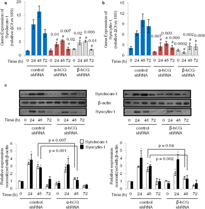 Effect of α- and β-hCG silencing on the expression of syncytin-1 and syndecan-1. Control, α- and β-hCG silenced cells were treated with forskolin (25 μM) for 24, 48 and 72 h. Subsequently, total RNA and cell lysates were prepared and profiles of syncytin-1 and syndecan-1 were determined by qRT-PCR and Western blotting. Panels ( a ) and ( b ) show qRT-PCR data comparing transcript levels of syncytin-1 and syndecan-1 respectively, in control, α- and β-hCG silenced cells after 24, 48 and 72 h of foskolin treatment. Each bar represents relative ΔCt values after normalization with the 18S rRNA, expressed as mean ± s.e.m. of three independent experiments performed in triplicates. Panel ( c ) represents comparative expression profiles of syncytin-1 and syndecan-1 between control and α- and β-hCG silenced cells on forskolin treatment with β-actin used as an internal control. The cropped blots were run under the same experimental conditions and the full length blots can be viewed in Supplementary Fig. S12 online . Values are expressed as mean ± s.e.m. of band intensity of three independent experiments. Representative blots for the same are appended with the graphs. # p