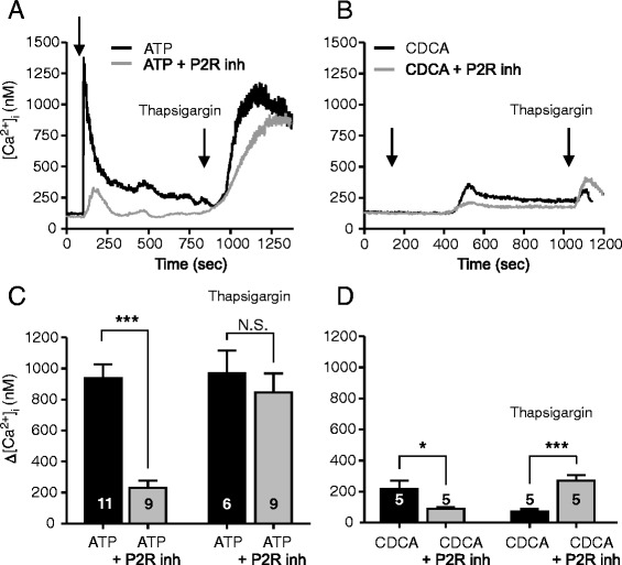 Effect of P2 receptor inhibitors on intracellular Ca 2+ responses induced by CDCA in Capan-1 cells. a and b Representative recordings of [Ca 2+ ] i transients in Capan-1 cells with or without P2 receptors inhibitors (standing bath). Cell were incubated with a mix of P2R inhibitors: PPADS (250 μM), suramin (250 μM), and 10 μM of AZ 10606120 and 10 μM of A438079 for 25 min. a , c The presence of P2R antagonists markedly inhibited [Ca 2+ ] i response induced by ATP (100 μM), but had no effect on Thapsigargin (1 μM) induced Ca 2+ response. b , d Incubation cells with P2R antagonists inhibited [Ca 2+ ] i transient induced by 0.3 mM CDCA but not by Thapsigargin (1 μM). c , d Change in [Ca 2+ ] i above baseline are given as mean values ± SEM of 7–15 cells per each independent experiment (n). Arrows indicate the time of adding the stimuli. *= P