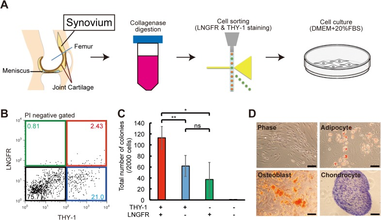 Isolation of LNGFR + THY-1 + MSCs from SYN. (A) Synovium (SYN) was harvested from patients undergoing total knee arthroplasty surgery and digested with collagenase and dispase. Mesenchymal stem cells (MSCs) were isolated using flow cytometry. DMEM, Dulbecco's Modified Eagle's Medium; FBS, fetal bovine serum. (B) Representative flow cytometric profile of SYN-derived cells stained for LNGFR and THY-1. Each population shows in LNGFR + /THY-1 + (red), LNGFR + /THY - (green), LNGFR - /THY + (blue) and LNGFR - /THY - (black) gates. PI, propidium iodide. (C) Number of colonies formed after 2 weeks of culturing 2,000 of the following cells: LNGFR + /THY-1 + , LNGFR + /THY - , LNGFR - /THY + , and LNGFR - /THY - (mean ± standard deviation, n = 4 per group; *p