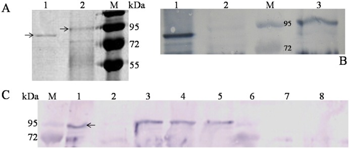 SDS-PAGE and western blot analysis of gene expression in P . pastoris and transgenic maize. (A) SDS-PAGE analysis of recombinant Aga-F75 produced in P . pastoris . Lanes: 1, the purified Aga-F75 with PNGase F treatment; 2, the purified Aga-F75; M, the protein molecular markers. (B) Western blot analysis of Aga-F75M produced in transgenic maize. Lanes: 1, the protein extract of transgenic maize seeds with PNGase F treatment; 2, the protein extract of non-transgenic Zheng58 seeds as a negative control; M, the protein molecular markers; 3, the protein extract of transgenic maize seeds. (C) Specific expression of Aga-F75M in transgenic maize. Lanes: M, the protein molecular markers; 1, the purified recombinant Aga-F75 produced in P . pastoris ; 2, the protein extract of non-transgenic Zheng58 seeds; 3–5, the protein extracts of transgenic maize seeds; 6–8, the protein extracts of leaf, stem, and root of the transgenic plant, respectively.