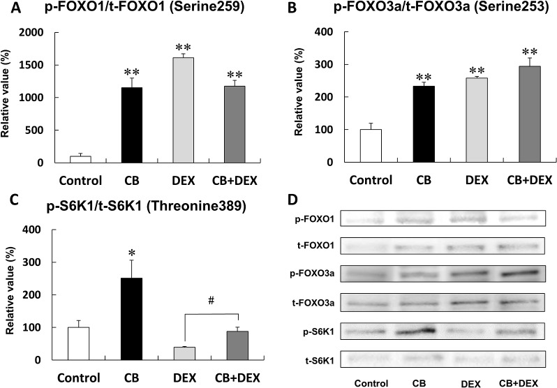 Effects of CB and DEX on phosphorylation of FOXO1, FOXO3a, and S6K1. (A) Phosphorylation of FOXO1 at serine 259 in the CB, DEX, and CB+DEX groups was similarly and significantly greater than that in the Control (** P