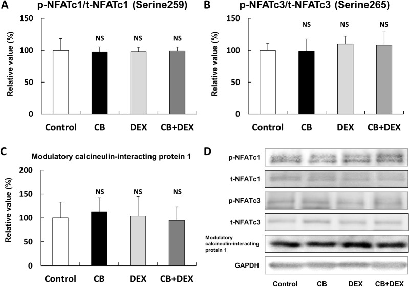 (A-C) Phosphorylation of NFATc1 on serine 259, phosphorylation of NFATc3 on serine 265, and expression of modulatory calcineurin-interacting protein 1 were similar in all four groups ( P = NS vs. Control in each case). (D) Representative immunoblotting results for phosphorylated and total NFATc1 and NFATc3, together with expression of modulatory calcineurin-interacting protein 1. The amount of phosphorylation (NFATc1 and NFATc3) or expression (modulatory calcineurin-interacting protein 1) in the Control was taken as 100% in each determination. p-NFATc1; phosphorylated NFATc1 at serine 259; t-NFATc1; total NFATc1; p-NFATc3, phosphorylated NFATc3 at serine 265, t-NFATc3; total NFATc3, GAPDH; glyceraldehyde 3- phosphate dehydrogenase