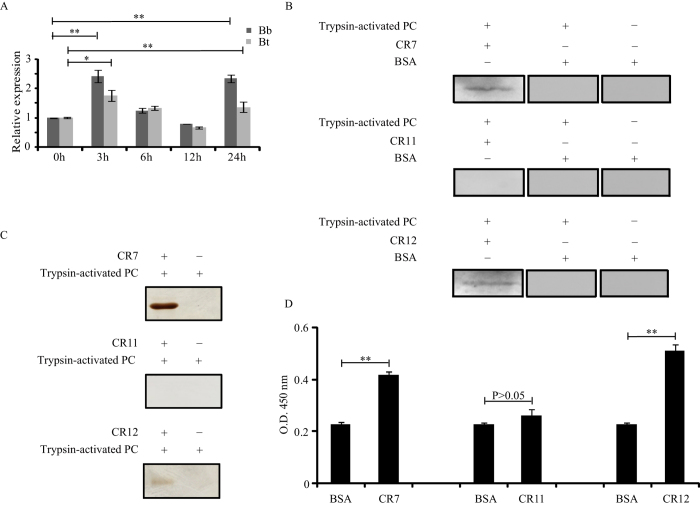 Interaction analysis of trypsin-activated PC with BtR-175 cadherin fragments. ( A ) The induced expression profiles of BtR-175 after Bb and Bt challenge by qRT-PCR. ( B ) Far-western blot analysis of trypsin-activated PC and BtR-175 cadherin fragments. The trypsin-activated PC was separated using 12% (w/v) SDS–PAGE and transferred to <t>PVDF</t> membranes for far-western blot analysis, in which recombinant His-CR7, His-CR11, and His-CR12 proteins (lane 1) were incubated with membranes. The membrane was either incubated with BSA (lane 2) or directly <t>immunoblotted</t> (lane 3) as a negative control. Positive bands were observed only when trypsin-activated PC/CR7 and trypsin-activated PC/CR12 complexes were present. ( C ) His-tag pull-down assays for trypsin-activated PC and BtR-175 cadherin fragments. Lane 1 shows BtR-175 cadherin fragments incubated with PC that were digested with trypsin. The bands indicate the pull-down proteins of PC that bound to PC (CR7 or CR12) complexes. Lane 2 shows an agarose gel incubated with trypsin-activated PC as a control. ( D ) ELISA binding saturation assays of trypsin-activated PC and BtR-175 cadherin fragments. Error bars depict ±SEM. Statistically significant differences from the control samples are indicated; ** P